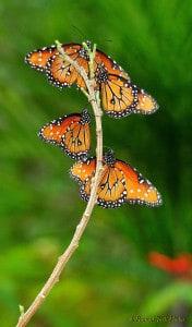 Monarchs on a Limb