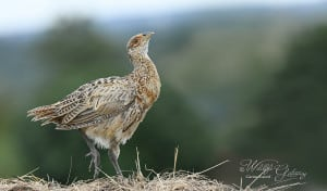 Proud Young Pheasant