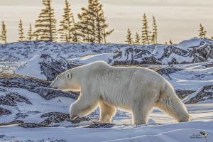 Backlit Bear