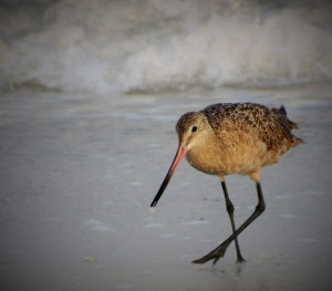 Marbled Godwit - St. Pete Beach