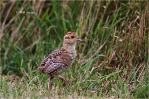 Red-legged Partridge Chick