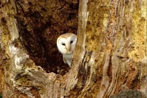 Barn Owl Peeking Out