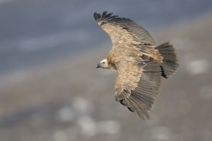 Bird's Eye View - Griffin Vulture