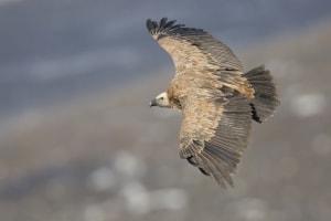 Bird's Eye View - Griffin Vulture