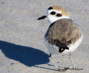 Snowy Plover in Alternate Plumage
