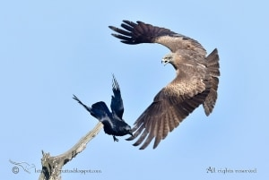 Percussion - Black Kite Vs Crow