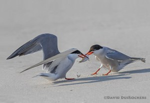 Common Terns Fighting Over Fish