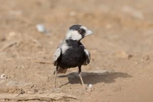 Black-crowned Sparrow-Lark