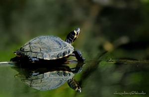 Yellow-eared Sliders