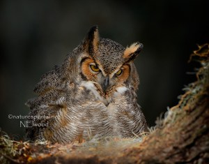 Great Horned Owl On Eggs