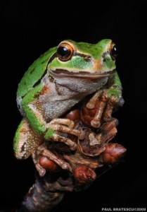 Pacific Northwest Tree Frog