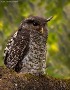 Rare as it comes, Spot-bellied Eagle Owl