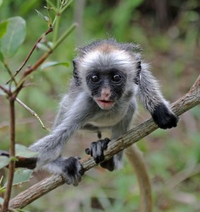 Baby Red Colobus Monkey