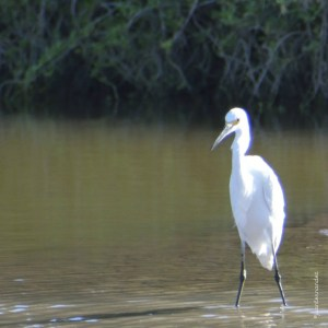 Garza Blanca (Great Egret) Ardea Alba