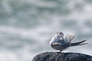 Common Tern Preening