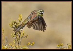 Cirl Bunting in Flight