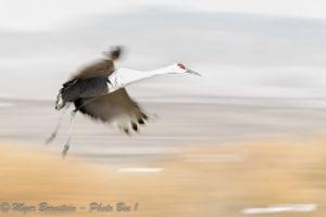 High Key Blur Sandhill Crane