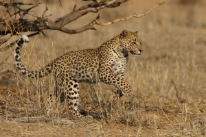 The Leeudril Leopard