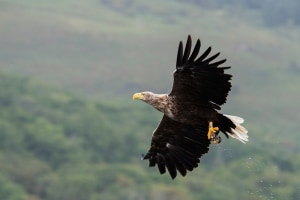 White tailed sea eagle with fish