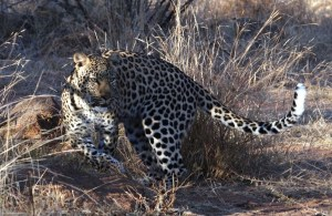Graceful Leopard