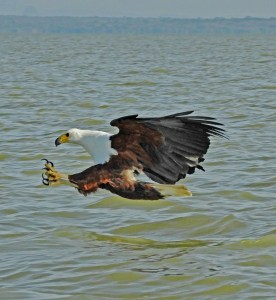 A Fishing Eagle - African Fish Eagle