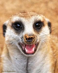 Happy Kat (Meerkat)