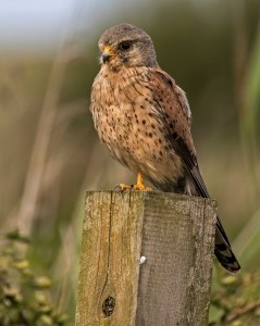 Male Kestrel on the Look Out