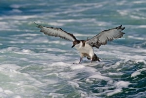 Coming in for Landing Great Shearwater