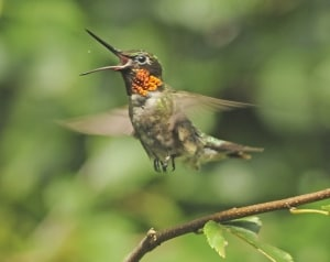 Ruby-throated Hummingbird Devouring an Insect on the Fly