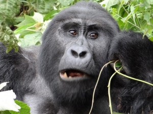 Kanyonyi the Silverback munching.
