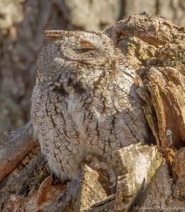 Screech owl napping