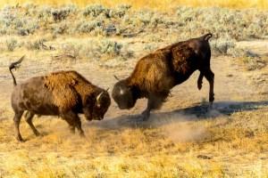 Bison fight