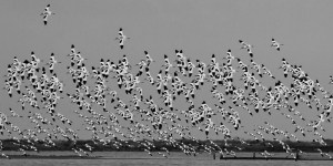 A flock of Pied Avocets
