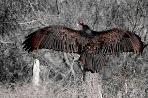 Turkey Vulture wing maintenance