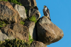 Peregrine Falcon - Nice Viewpoint