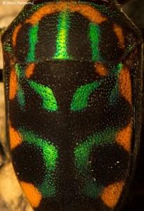 Jewel Bugs  -  Scutelleridae Family
