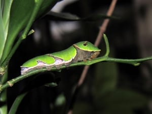 Lime Butterfly Larvae
