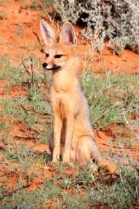 Cape Fox in the Kalahari