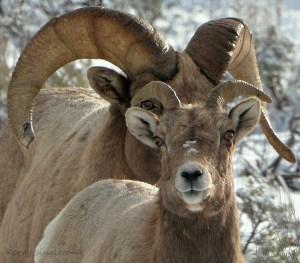 Ram and Ewe Big Horn