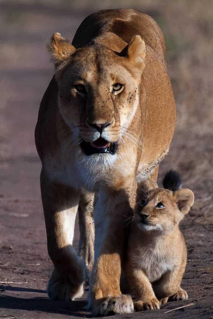 pjb0002m lioness cub walking