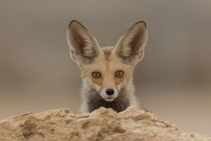 Arabian Red Fox Portrait
