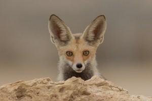 Arabian Red Fox Portrait