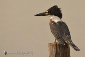 Ringed Kingfisher Megaceryle torquata