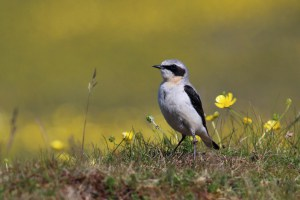 Wheatear at Ground Level