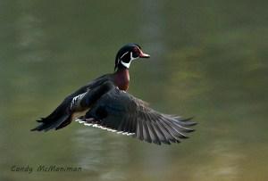 Wood Duck Landing