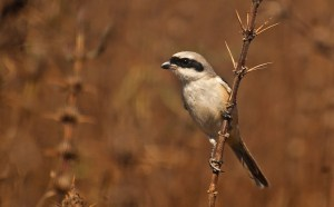 The Long Tailed Shrike
