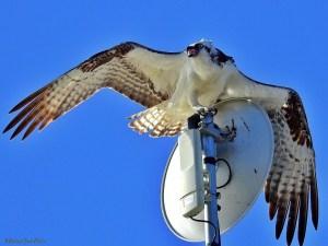 I Don't Need Wifi, Where is My Tree? - Osprey