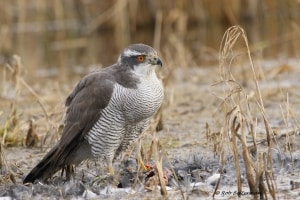 N. Goshawk (Accipiter Gentilis) After Dinner