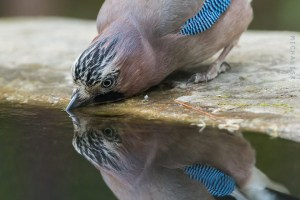 A Thirsty Jay