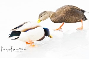 Mallards Feeding on Ice